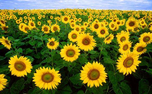 800px-Sunflowers